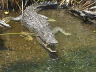 Black River Boat Ride with Crocodile Tour from Montego Bay